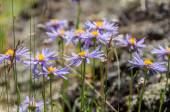 Daisy flowers purple mountain — Stockfoto