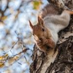 Squirrel portrait birch grey — Stock Photo #58637605