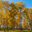 Birch grove autumn foliage — Stock Photo #58638933