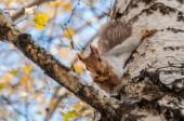 Squirrel portrait birch grey — Stock Photo