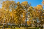 Birch grove autumn foliage — Stock Photo