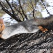 Постер, плакат: Squirrel Sciurus vulgaris