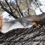 ������, ������: Squirrel Sciurus vulgaris