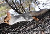 Squirrel (Sciurus vulgaris) — Stock Photo