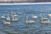 Swans on the river in winter (Cygnus Cygnus) — Stock Photo