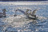 Swans fight river winter (Cygnus Cygnus) — Stock Photo