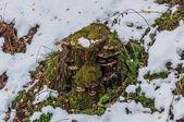 Chaga mushrooms moss leaves stump snow autumn — Stock fotografie