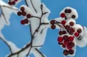 Viburnum berries fruits red snow — Stock fotografie