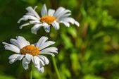 Papatya çiçek portre — Stok fotoğraf