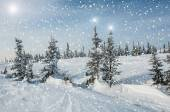 Spruce forest snow snowflakes stars — Stock Photo