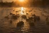 Swans lake mist winter sunset — Stock Photo
