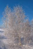 Winter birch snow hoarfrost — Stock Photo