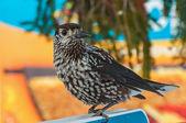 Nutcracker bird branch cedar — Stock Photo