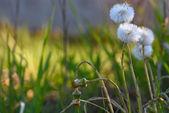 Dandelion flowers grass background — Stock Photo