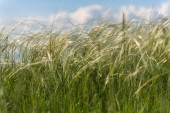Feather grass field — Stock Photo