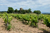 Spanish plantation of grapevines — Stockfoto