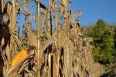 Autumnal corn field — Stock Photo