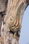 Indian palm squirrel on a dead tree — Stock Photo