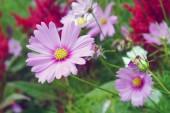 Cosmos rosa — Foto de Stock