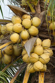 Bunch of yellow coconut fruits hanging on tree — Stock Photo