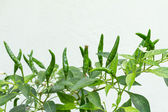 Green chilies — Stock Photo
