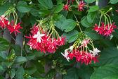 Combretum indicum, Chinese honeysuckle or Rangoon creeper — Stock Photo
