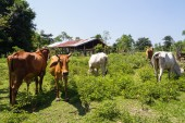 Ko på gården — Stockfoto