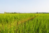 Green rice field in Thailand — Stock Photo