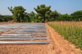 Yard long bean farm — Foto Stock