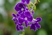 Purple blue Duranta or Golden dewdrop flower — Stock Photo