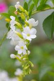 Duranta or Golden dewdrop flower — Stock Photo