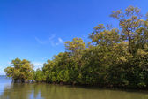 Mangrove trees in coastal environment — Stockfoto
