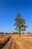 Shorea siamensis in parched rice field — Stock Photo