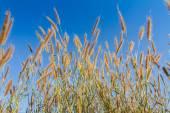 Gramineae grass flower — Stock Photo