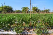 Green chilies in the farm — Stock Photo