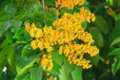 Padauk Flower or Papilionoideae Flower, The symbol of the Royal — Stock Photo