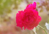 Wine colored rose in sweet tone — Stock Photo