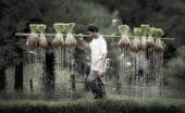 Farmers grow rice in the rainy season — Stockfoto