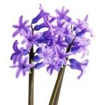 Purple hyacinth isolated on white background — Stock Photo #71199549