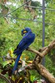 Bright blue parrot on a branch of a tropical tree — Foto de Stock