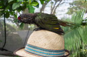 Green baby bird of a parrot sitting on a straw hat — Foto de Stock
