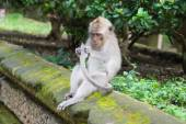 Sitting monkey considering the tail — Stock Photo
