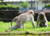 Two monkeys playing in a grass — Stock Photo