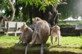 Family of monkeys in forest park — Stock Photo