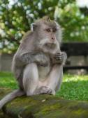 Sitting monkey in forest park close up — Stock Photo