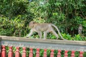 Monkey walking on a fence in forest park — Stock Photo