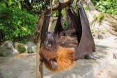 Bat hanging upside down on a branch close up — Stock Photo