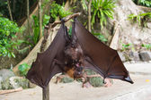 Bat hanging upside down and spread wings — Stock Photo