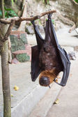 Bat hanging on a branch in park — Stock Photo