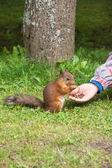 Zrzavá veverka jíst ořech v parku — Stock fotografie